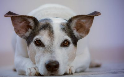 Defining Pet Dander and Simple Ways to Get Rid of It